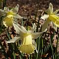 Narcissus 'Elka' after several days, Jay Yourch