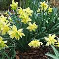 Narcissus 'Eystettensis', Mark Brown