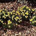 Narcissus 'February Gold' Group, Jay Yourch