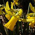 Narcissus 'February Gold' Profile, Jay Yourch