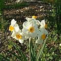 Narcissus 'Geranium', Angelo Porcelli