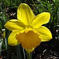 Narcissus 'Gigantic Star', Jay Yourch