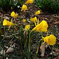 Narcissus 'Golden Bells'Group, Jay Yourch