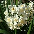 Narcissus 'Grand Primo', Angelo Porcelli