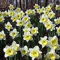 Narcissus 'Ice Follies', Jay Yourch
