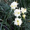 Narcissus 'Joan Stead', Ian Young