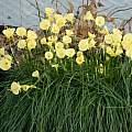 Narcissus romieuxii 'Julia Jane', Roland and Gemma