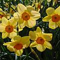 Narcissus 'Kedron', Jay Yourch