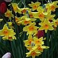 Narcissus 'Kinglet', David Pilling