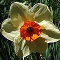 Narcissus 'Kissproof', Jay Yourch