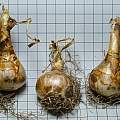 Narcissus 'Lieke' bulbs, 12th November 2013, David Pilling