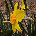 Narcissus 'Pappy George', Jay Yourch
