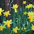 Narcissus 'Peeping Tom', David Pilling