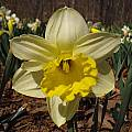 Narcissus 'Pistachio', Jay Yourch