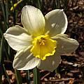 Narcissus 'Pueblo', Jay Yourch