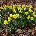 Narcissus 'Rijnveld's Early Sensation', Jay Yourch