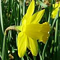 Narcissus 'Saint Keverne', Jay Yourch