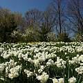 Narcissus 'Sir Winston Churchill', Laura Grant