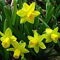 Narcissus 'Tete a Tete', Jay Yourch