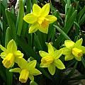 Narcissus 'Tête-à-tête', Jay Yourch