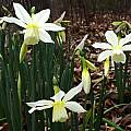 Narcissus 'Thalia', Jay Yourch