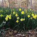 Mass planting of Narcissus 'Trevithian' with Leucojum aestivum in foreground, Jay Yourch