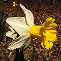 Narcissus 'Wisley', Jay Yourch