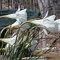 Narcissus albidus ssp. tananicus, John Lonsdale