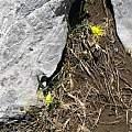 Narcissus asturiensis high in the Picos de Europa, June 2010, Ralph Carpenter