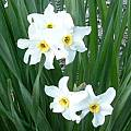 Narcissus × medioluteus, Angelo Porcelli