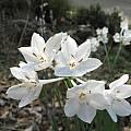 Narcissus broussonetii, Nhu Nguyen