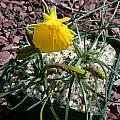 Narcissus bulbocodium, John Lonsdale