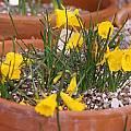 Narcissus bulbocodium alpinus, Jane McGary