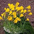 Narcissus obesus, John Lonsdale