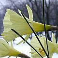 Narcissus bulbocodium ssp. bulbocodium var. pallidus, John Lonsdale
