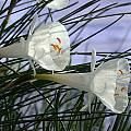 Narcissus cantabricus var. foliosus, John Lonsdale