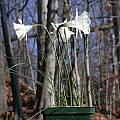 Narcissus cantabricus ssp. monophyllus, John Lonsdale