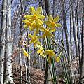 Narcissus cordubensis Lemon form, John Lonsdale