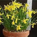 Narcissus cyclamineus × asturiensis, Anne Wright