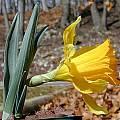 Narcissus pseudonarcissus ssp. eugeniae, John Lonsdale