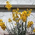 Narcissus fernandesii, John Lonsdale