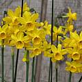 Narcissus jonquilla, Mary Sue Ittner