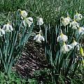 Narcissus moschatus, Becky Matthews