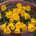 Narcissus obesus, Jane McGary