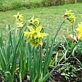 Narcissus obvallaris var. 'Derwydd Daffodil', Mark Brown