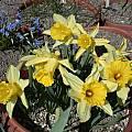Narcissus pallidiflorus, Jane McGary