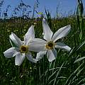 Narcissus poeticus subsp. radiiflorus, Mario Klesczewski