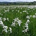 A field of Narcissus poeticus subsp. radiiflorus, Mario Klesczewski