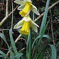 Narcissus pseudonarcissus ssp. pseudonarcissus, David Pilling
