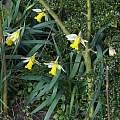Narcissus pseudonarcissus ssp. pseudonarcissus, David Pilling